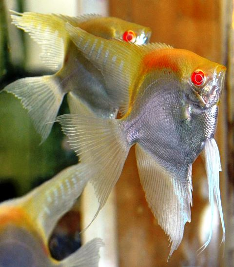 Angelfish - Albino Manacapuru Flame - Medium